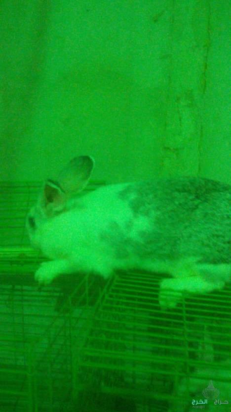 ذكور واناثي ارانب للبيع