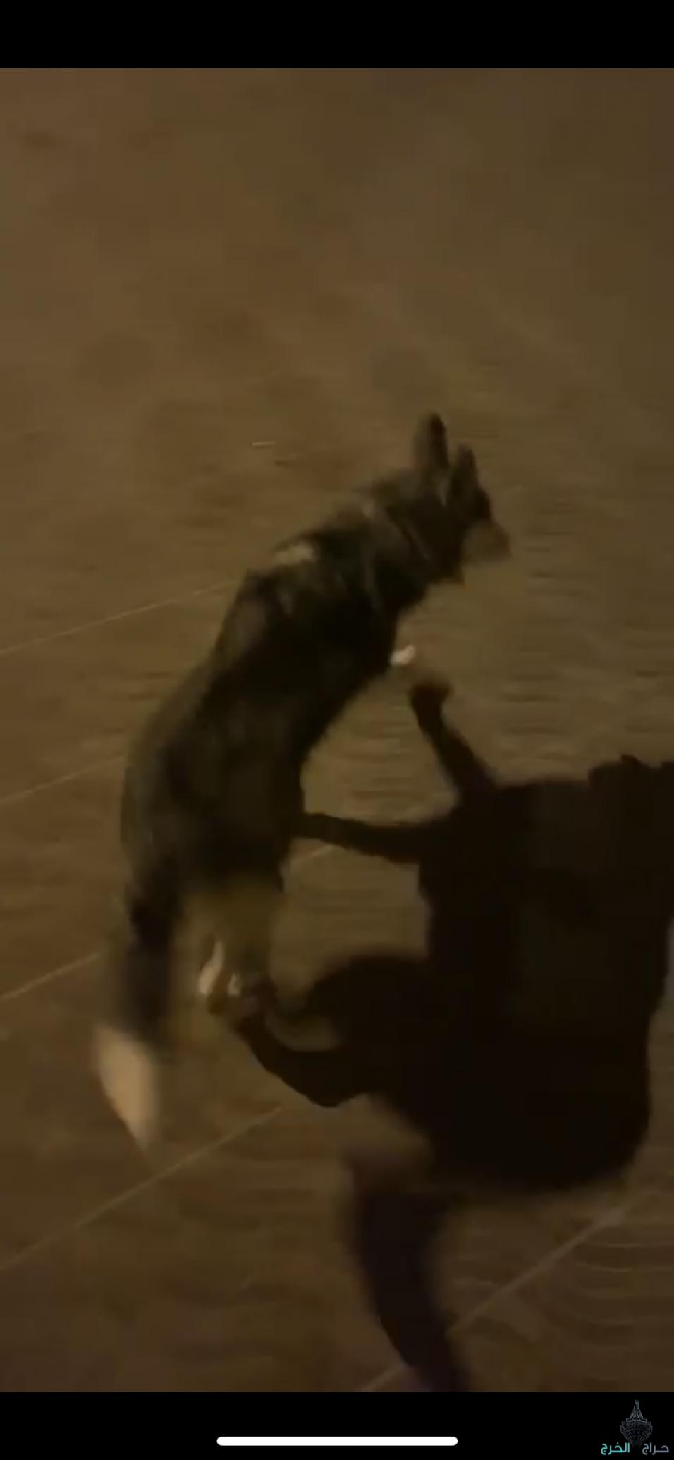كلب هاسكي ذكر متدرب عمره٧شهور للتواصل0555032399
