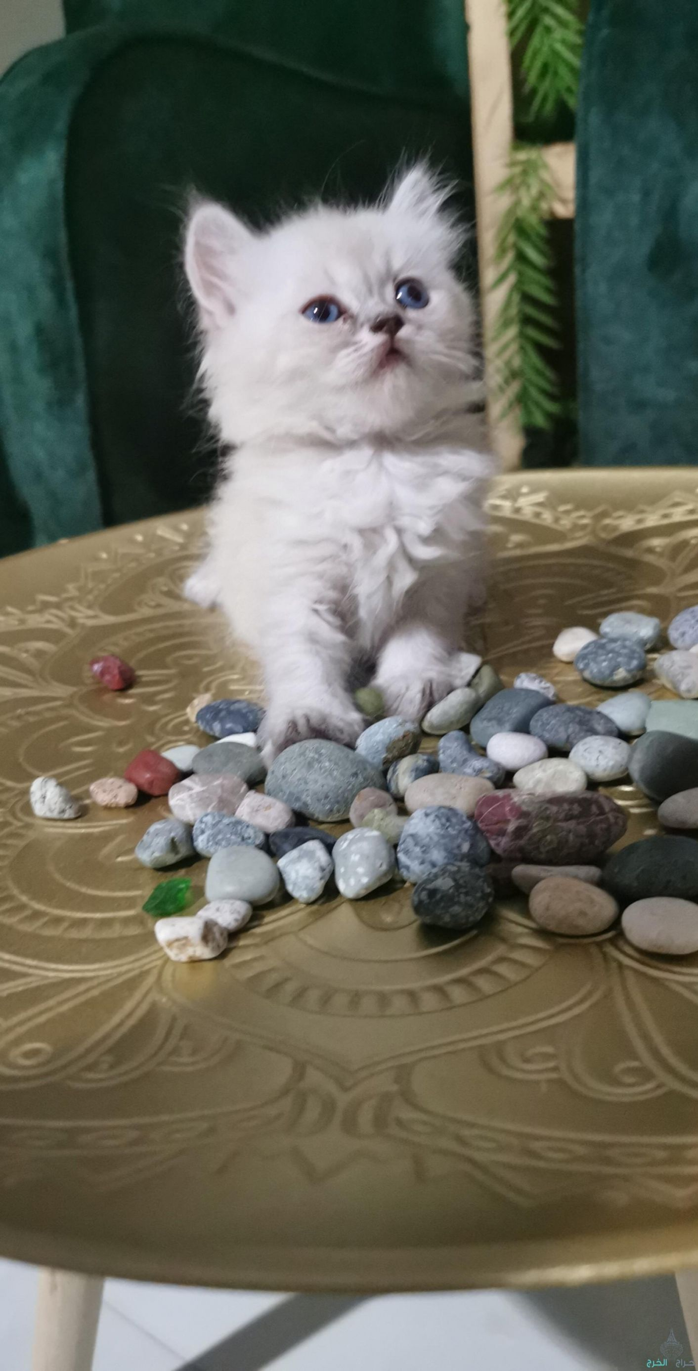 قطه أنثى هملايا صغيره