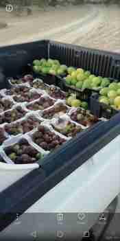 فاكهه التين الطااازج من المزرعه والليمون الحجم الكبير