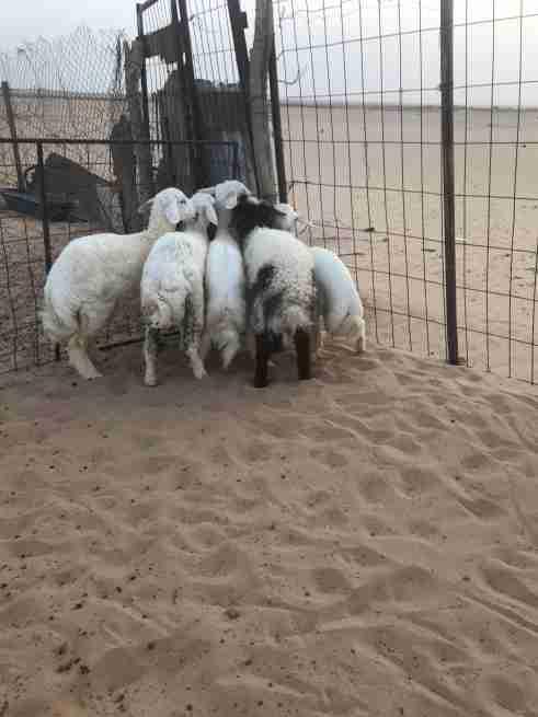 خروف نعيمي و 4 حري