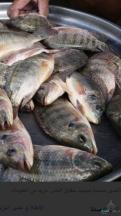 للبيع  سمك البلطي