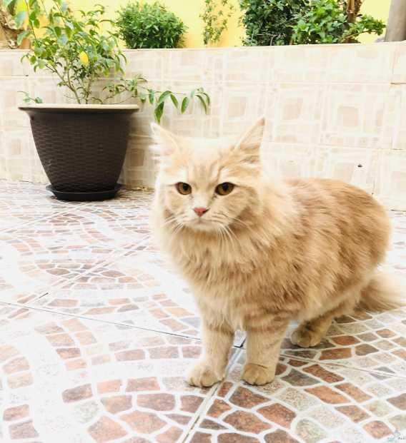قطة أمريكية أنثى