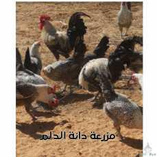 صيصان دجاج فيومي وبيض مخصب للبيع