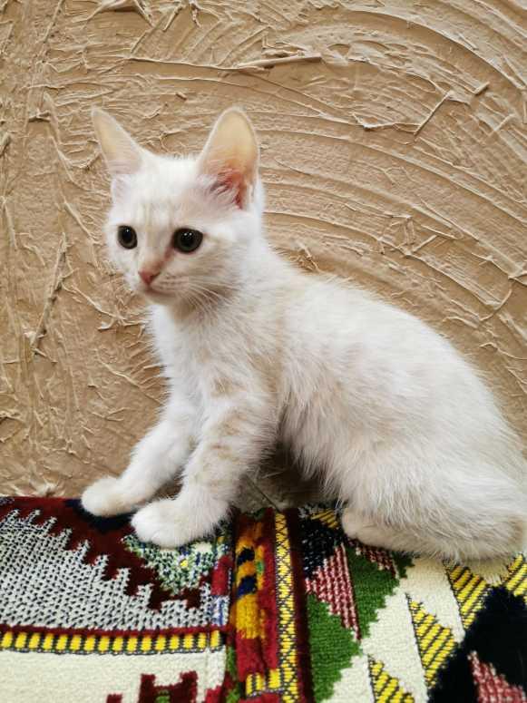 للبيع قطه شيرازي أنثى صغيره