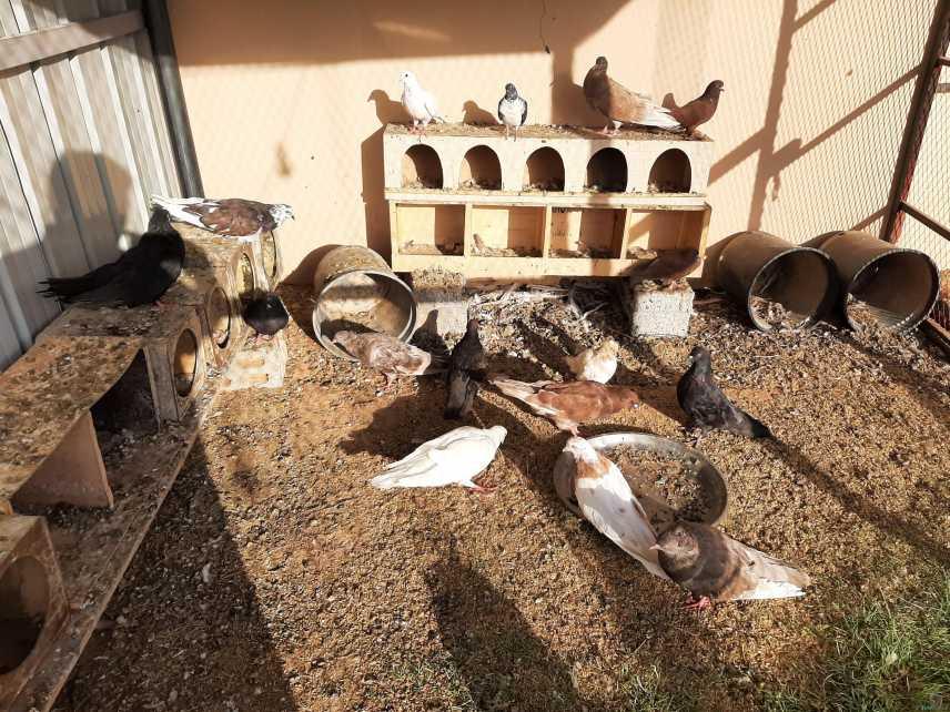 حمام مصري ودجاج وحصان فيه رومانه وشينكو للبيع ب٢٥٠٠