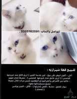 قطة شرايزية