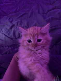 قطة عمر ٥ شهور شيرازيه نظيفه و معقمه انولدت عندي في البيت