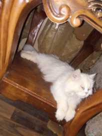 قطة أنثى شيرازي مواليد ٢٠١٦ الاسم سنابي