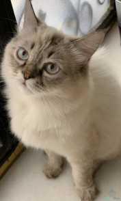 قط هملايا مهجن عيناه سماويه (معقم)1000