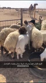 طليان النعيم وحريات سمان وطيبه شرط