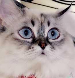 قط هملايا عيون زرقاء انيق ولعوب (معقم)