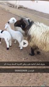 خروف فحل شرط النسف سن تام وانتاجه طيب بالحيل