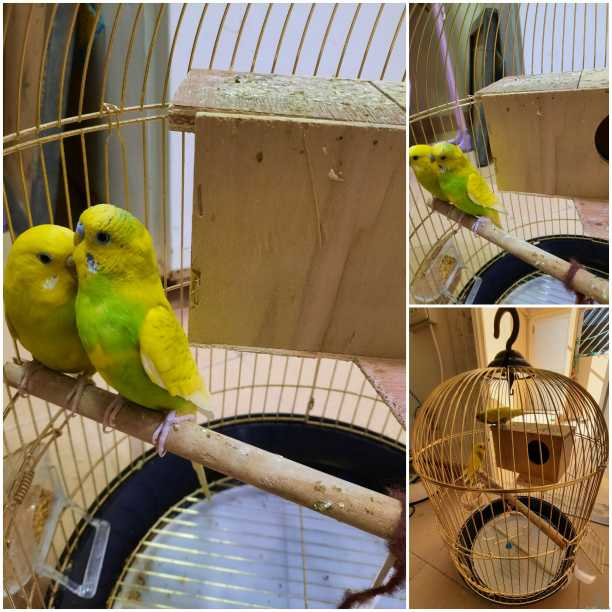 طيور الحب مع تغريد للبيع