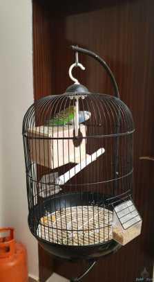 طيور حب للبيع