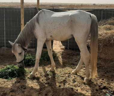 حصان عمره ٦ سنين فحل فيه لفه في رجله اليسار ويمشي ويركض