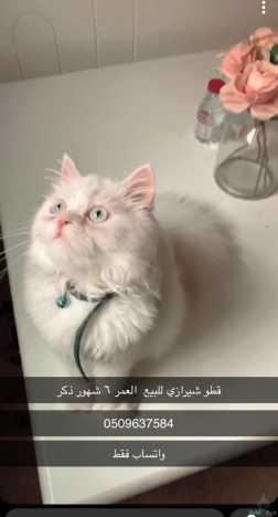 قط شيرازي العمر ٧ شهور