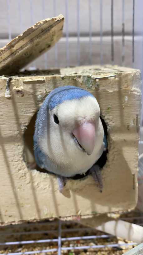 عصافير روز
