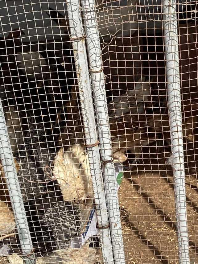 دجاج بلدي للبيع عمر ٤ شهور العدد ١٠٠