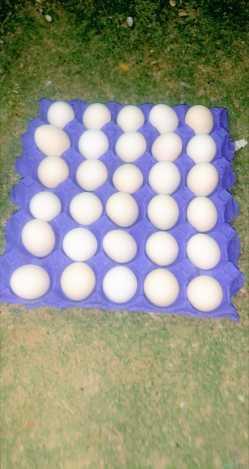 بيض بلدي طازج يومي من المزرعه في اليمامه للأكل والتفقيس  الطبق ب ٢٠ريال