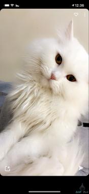 قط شيرازي ابيض اللون