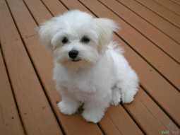 Teacup Maltese Puppies good to go