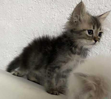 قطط كيتن شيرازي للبيع