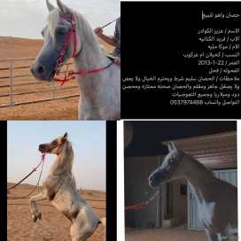 حصان واهو للبيع