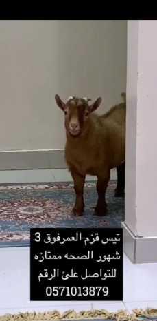 تيس قزم عمره3 شهور